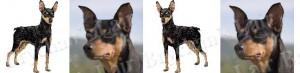 Black & Tan Miniature Pinscher Dog Breed Ribbon Design