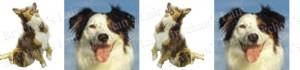 Australian Shepherd Dog Breed Ribbon Design