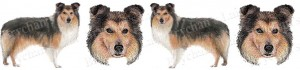 Shetland Sheepdog Dog Breed Ribbon Design
