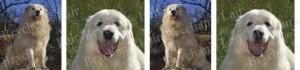 Great Pyrenees Dog Breed Ribbon Design
