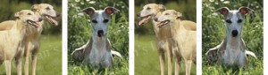Whippet Dog Breed Ribbon Design