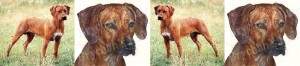 Rhodesian Ridgeback Dog Breed Ribbon Design