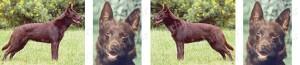 Australian Kelpie Dog Breed Ribbon Design