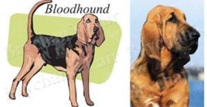 Bloodhound Dog Breed Ribbon Design