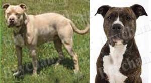 Pit Bull Dog Breed Ribbon Design