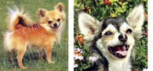 Long Haired Chihuahua Dog Breed Ribbon Design