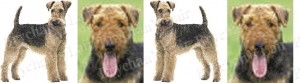 Airedale Terrier Dog Breed Ribbon Design