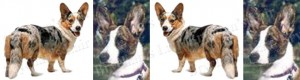 Cardigan Welsh Corgi No1 Dog Breed Ribbon Design