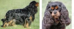 Black & Tan Cavalier King Charles Dog Breed Ribbon Design