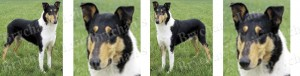 Smooth Coated Collie Dog Breed Ribbon Design