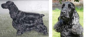 American Black Cocker Spaniel Dog Breed Ribbon Design