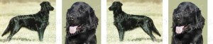 Flat Coated Retriever Dog Breed Ribbon Design
