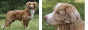 Nova Scotia Duck Tolling Retriever No1 Dog Breed Ribbon Design