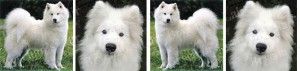 Samoyed Dog Breed Ribbon Design
