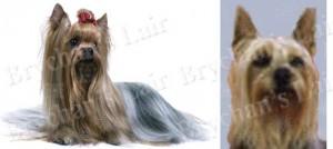 Silky Terrier Dog Breed Ribbon Design