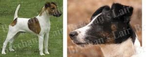 Smooth Fox Terrier Dog Breed Ribbon Design