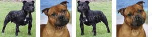Staffordshire Bull Terrier Dog Breed Ribbon Design