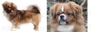 Tibetan Spaniel Dog Breed Ribbon Design