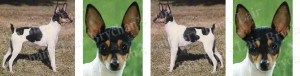 Toy Fox Terrier Dog Breed Ribbon Design