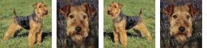 Welsh Terrier Dog Breed Ribbon Design