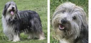 Bearded Collie Dog Breed Ribbon Design