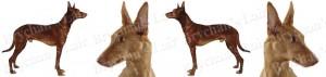 Pharoah Dog Breed Ribbon Design