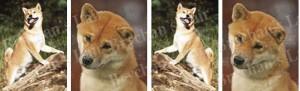 Shiba Inu Dog Breed Ribbon Design