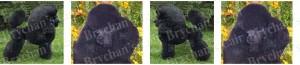 Black Poodle Dog Breed Ribbon Design
