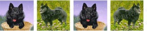 Schipperkes Dog Breed Ribbon Design