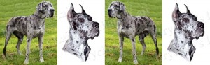 Great Dane Merle No1 Dog Breed Ribbon Design