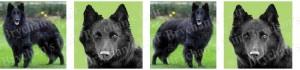 Belgian Sheepdog Dog Breed Ribbon Design