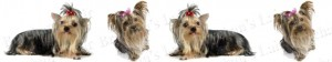 Yorkshire Terrier With Bow Dog Breed Ribbon Design