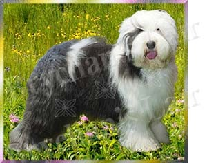 Old English Sheepdog No2 Dog Breed Ribbon Design