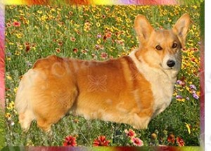 Pembroke Welsh Corgi No2 Dog Breed Ribbon Design