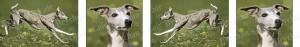 Greyhound Dog Breed Ribbon Design