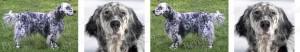 Blue English Setter Dog Breed Ribbon Design