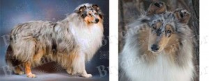Blue Merle Rough Coat Collie Dog Breed Ribbon Design