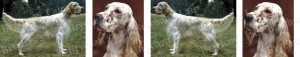 Brown English Setter Dog Breed Ribbon Design