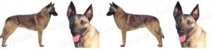 Belgian Malinois Dog Breed Ribbon Design
