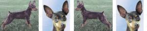 Chocolate Miniature Pinscher Dog Breed Ribbon Design