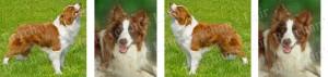 Border Collie Red & White Dog Breed Ribbon Design