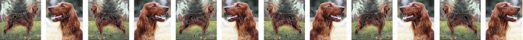 Irish Setter Dog Breed Custom Printed Grosgrain Ribbon