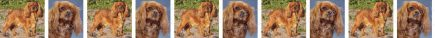 Ruby Cavalier King Charles Dog Breed Custom Printed Grosgrain Ribbon