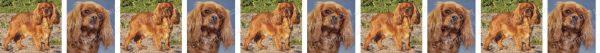 Ruby Cavalier King Charles Dog Breed Custom Printed Grosgrain Ribbon