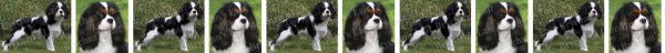 Tri Colored Cavalier King Charles Dog Breed Custom Printed Grosgrain Ribbon