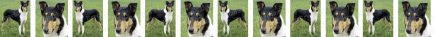 Smooth Coated Collie Dog Breed Custom Printed Grosgrain Ribbon