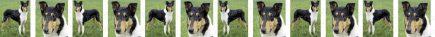 Smooth Coated Collie Dog Breed Custom Printed Grosgrain Ribbon