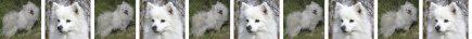American Eskimo Dog Breed Custom Printed Grosgrain Ribbon
