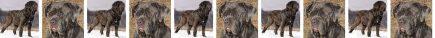 Neopolitan Mastiff Dog Breed Custom Printed Grosgrain Ribbon