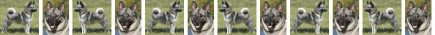 Norwegian Elkhound Dog Breed Custom Printed Grosgrain Ribbon